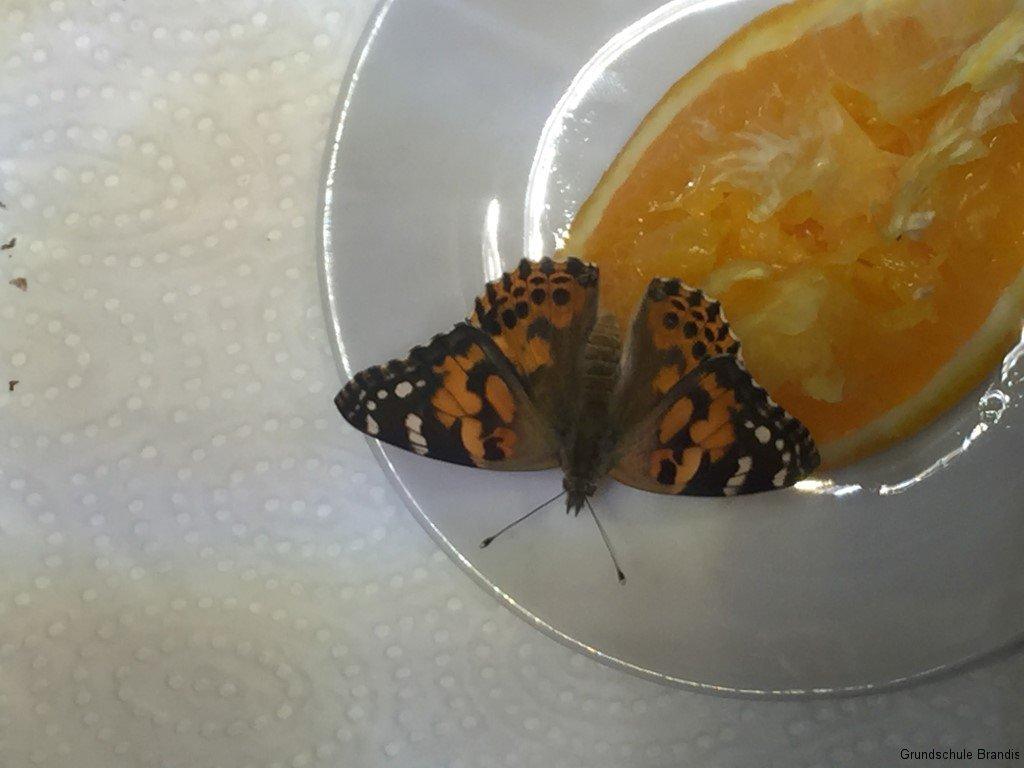 26.04.16 Hurra, der 2. Schmetterling ist da